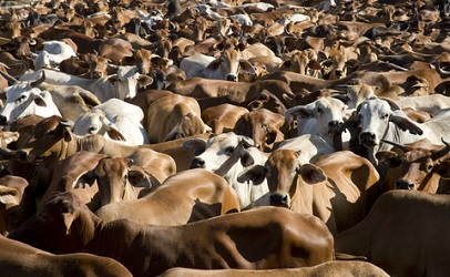 cattle-global-beef-trade-406